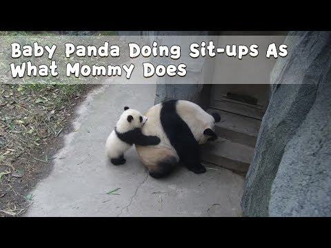 Xxx Mp4 Baby Panda Doing Sit Ups As What Mommy Does IPanda 3gp Sex