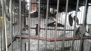 Cara Pilih Burung Cucak Kombo Jantan Download Mp3 Mp4 3GP HD Video