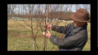 How to Prune a Mature Pear Tree in Early Spring - Gurney's Video