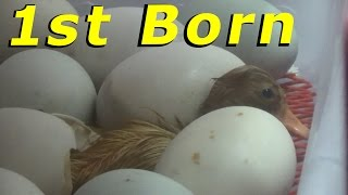 1st Ducklings Hatched Tonight #39 Hatching Duck & Goose Eggs