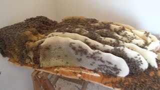 Monster bee hive discoverd after ripping up floor boards