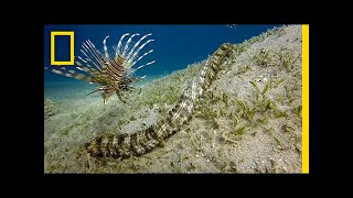 This Bizarre Sea Creature is Snake-like and Has Tentacles | National Geographic