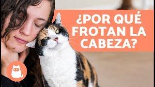 ¿Por qué mi gato frota su cara contra la mía? - ¡AQUÍ LA RESPUESTA!