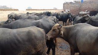 Sohna Pind Gujjran Da- |  Buffalo Dairy Farm in Pakistan | Part 4 |