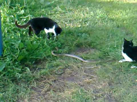 Snake Vs. Cat macke protiv zmije