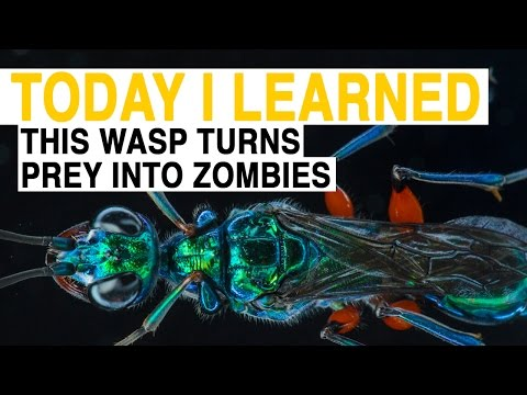watch TIL: This Wasp Turns Prey Into Zombies | Today I Learned