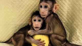 Animal cloning; China clones two monkeys using same technique that made Dolly the Sheep Compilation