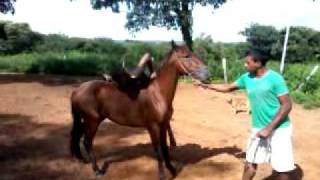 como amansar cavalo