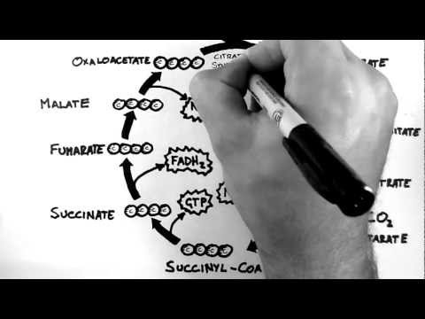 Cellular Respiration 3 - TCA Cycle (Krebs Cycle)