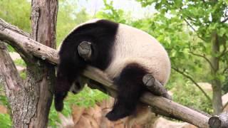Chinese Panda sleeping style