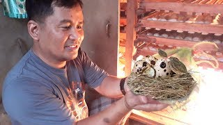 Collecting and incubating hundreds of quail eggs -Modern quail farming methods