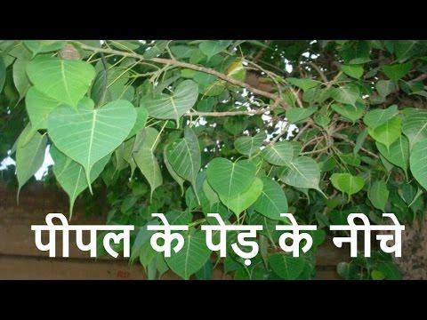Xxx Mp4 रात में पीपल के पेड़ के नीचे नहीं सोना चाहिए क्यों ऐसा क्या है जाने Gharelu Upay 3gp Sex