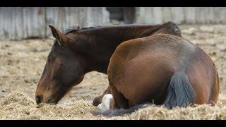 هل تعلم لماذا يجب قتل الحصان اذا إنكسرت ساقه ؟؟ سبحان الله !!!