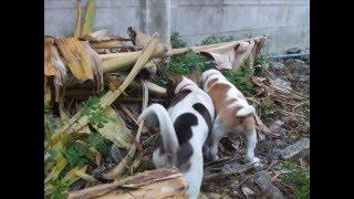 Gundum The Beagle Gang
