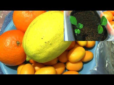 ananas vermehren mango ganz einfach vermehren 79 best images about news interessantes on. Black Bedroom Furniture Sets. Home Design Ideas