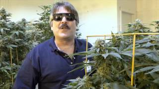 L-E-D Garden TESTING - Remo Nutrients and 4 Kinds of WEED in 4K