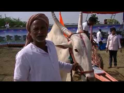 Xxx Mp4 Surpale Bulls Running At Mudhol Race 3gp Sex