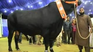 اكبر عجل في العالم  \ The largest animal in the world