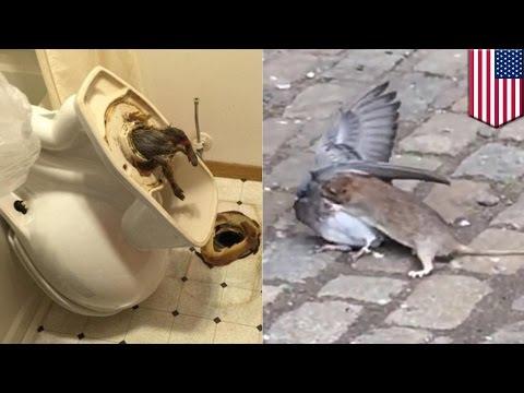 Zwierzaki szczury w toaletach i szczur polujący na gołębie