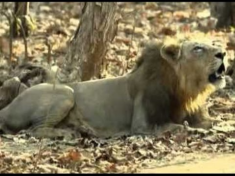 LISTEN LION ROAR Gir forests SUPER STAR asiatic lion RAJOO, But news he was recently passed away...