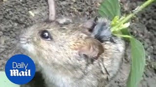 Bizarre footage shows rat with a sapling growing on its back - Daily Mail