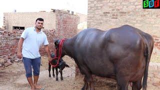 Super Murrah Buffalo || Milk + Beauty || At Farmer