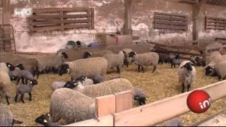 Eleveur : la guerre de l'agneau
