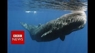 The whales that 'talk' with accents - BBC News