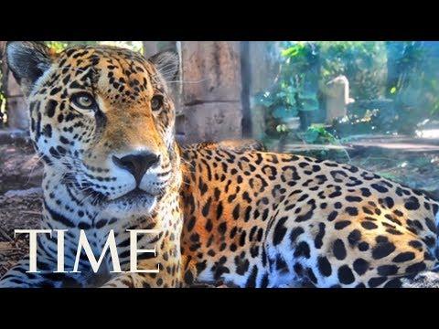 Xxx Mp4 Jaguar Escapes From Zoo Habitat Kills 8 Animals TIME 3gp Sex
