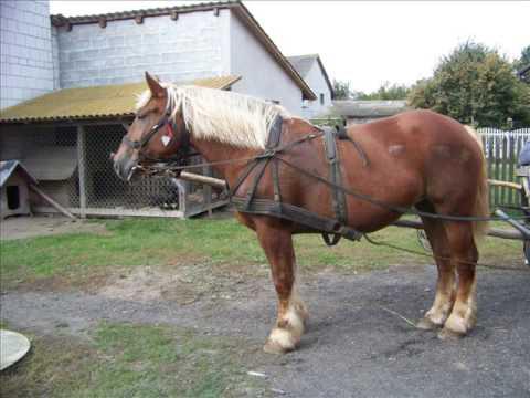 Konie zimnokrwiste w zaprzęgu