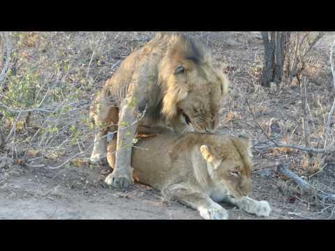 Xxx Mp4 Lion Sex Orgasm Roar Is Incredible 3gp Sex