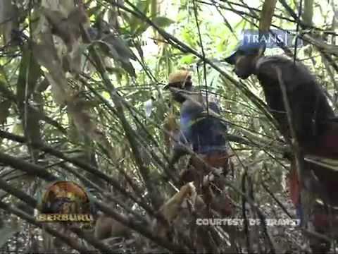 Deer hunting at papua INDONESIA BERBURU PAPUA RUSA SEG 2.m4v