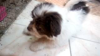 كلب جريفون فرنساويAngry Birds Pets Shop