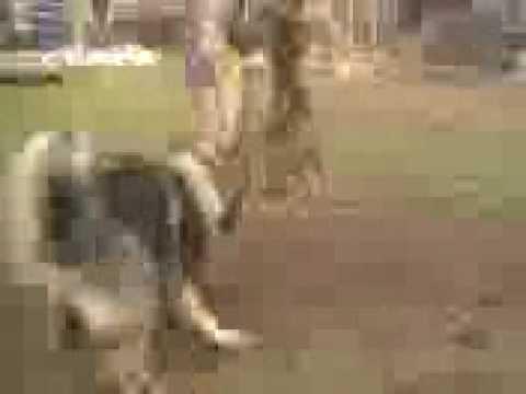 qeni i sharit ilir klyshi i bonit shapi