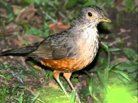 Aves do Brasil Sabiás. As 5 espécies de nossas matas