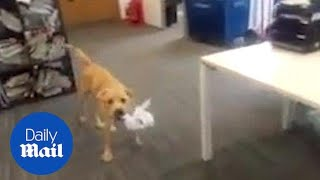 Moment young labrador is brought into owners office - Daily Mail