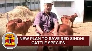 New Plan to Save Red Sindhi Cattle Species - Thanthi TV