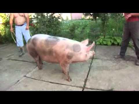 Kolenje svinja