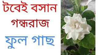 গন্ধরাজ ফুল গাছের সম্পূর্ণ পরিচর্যা ।How To Care Gardenia.