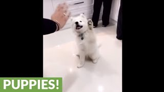 Watch This Adorable Samoyed Puppy Wave Hello On Command!