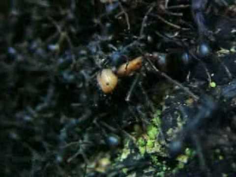 Hormigas asesinas parte 2 de 5