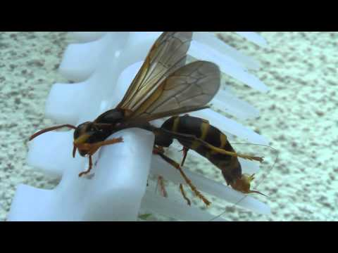 Japanese Wasp (with a severe headache).
