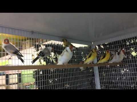 Mon élevage de chardonneret en mutation an 2013