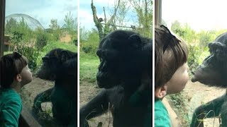 Chimp Falls In Love With Boy