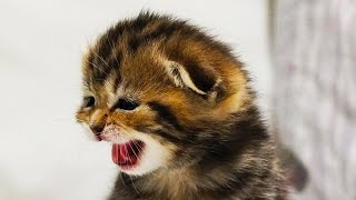 Cute Little Kittens Meowing for Mom Cat | Generation