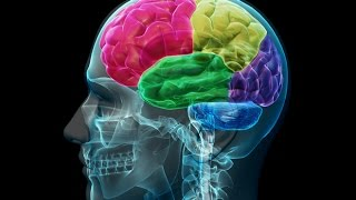 Anatomy and Physiology of Nervous System Part Brain