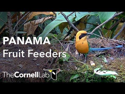 Panama Fruit Feeder Cam at Canopy Lodge Cornell Lab