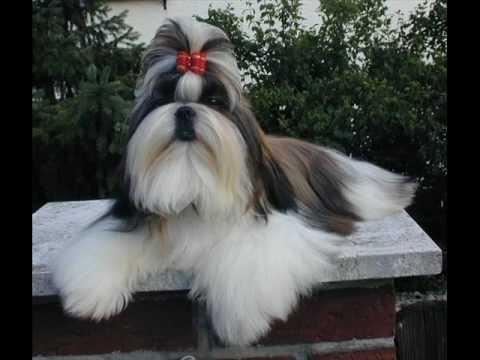 20 Raças de cachorro mais lindos do mundo