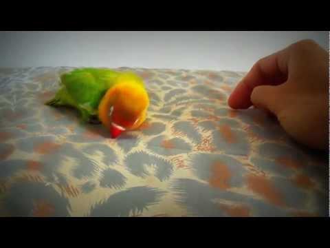 Agaporni cantando lovebird agaporniden