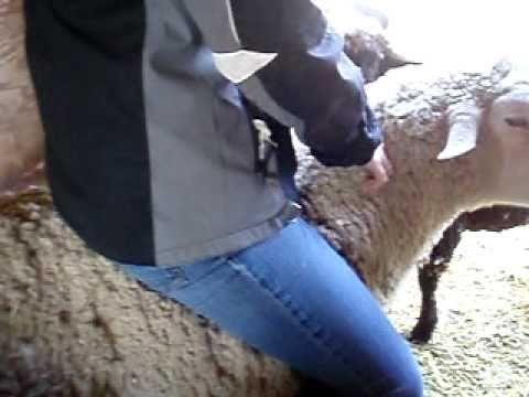 I m Riding a Sheep